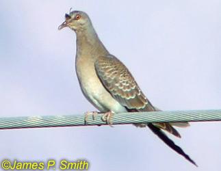 The Israeli Birding Website - IRDC - Bulletin 4:
