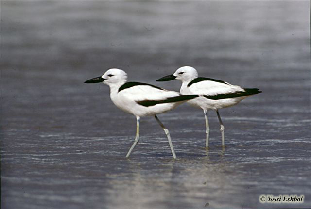 http://www.israbirding.com/reports/historical_records/crab_plover_maagan-michael/crab_plover_yossi.jpg