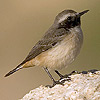 Persian Wheatear